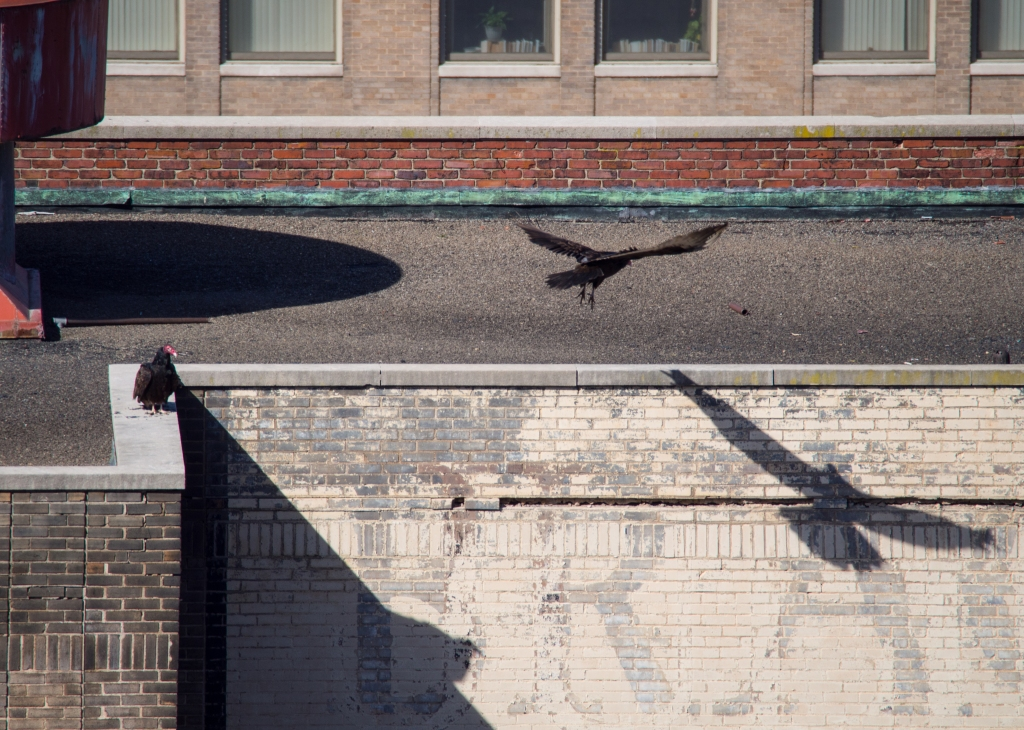 vultures in downtown Baltimore March 2015