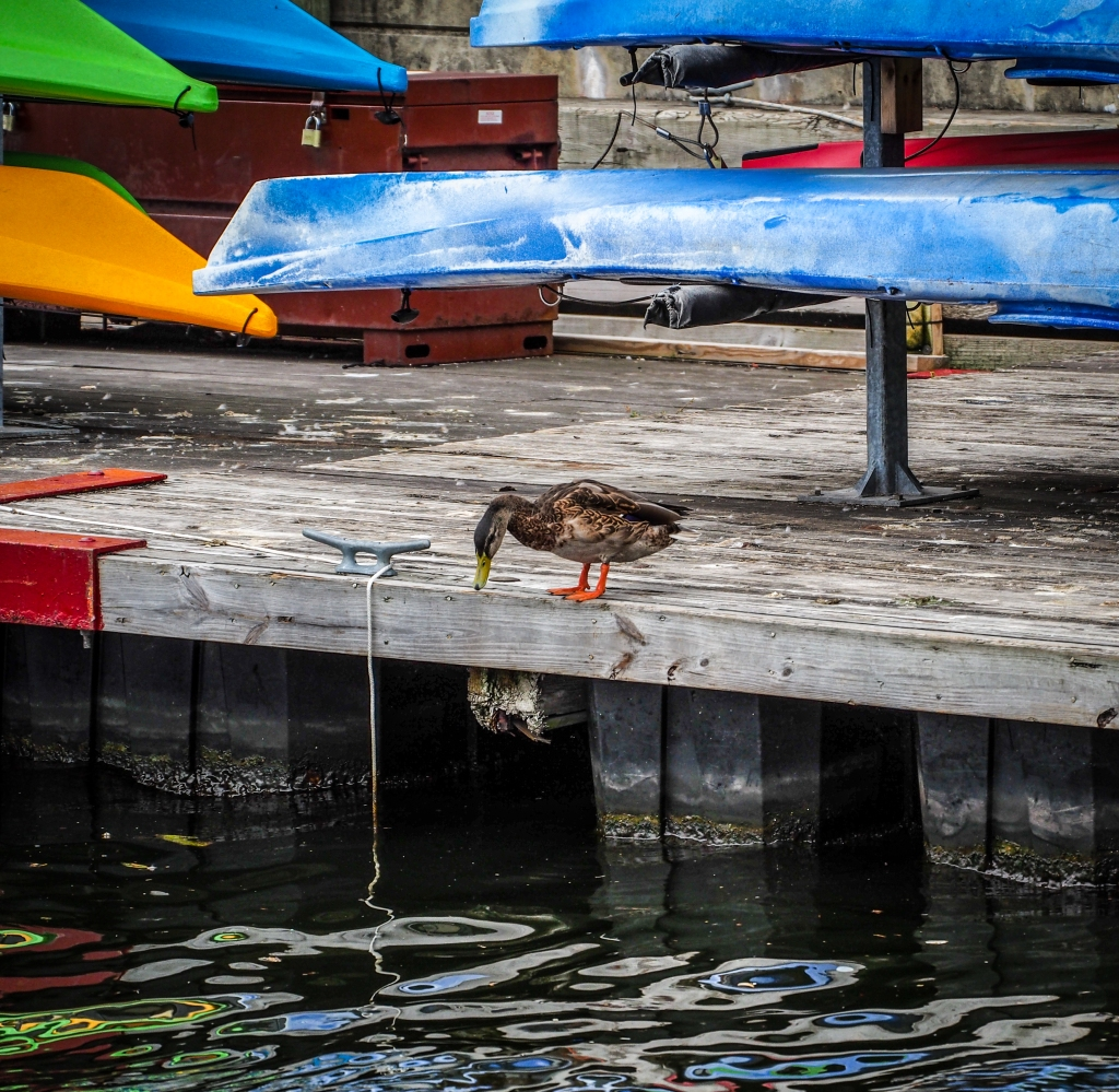 This duck was overly tentative about jumping. In the end she remembered she had wings