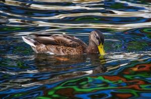 Mallard duck in Baltimore's Inner Harbor