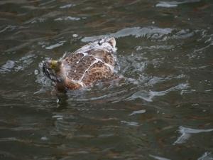 Ducks love water, even Chesapeake water