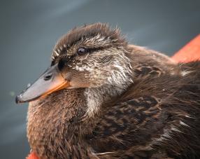 A fluffy young mallard duck