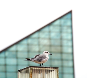 Seagull framed by the iconic roof of the aquarium