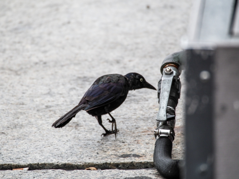 A rogue starling explores Baltimore's Inner Harbor