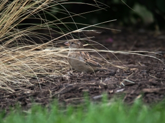 Sparrow collects grass for its nest