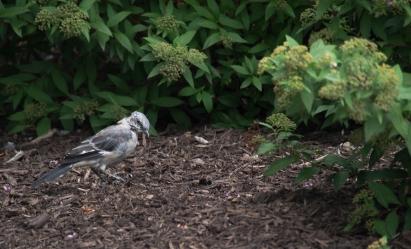 A mockingbird in Baltimore city bushes