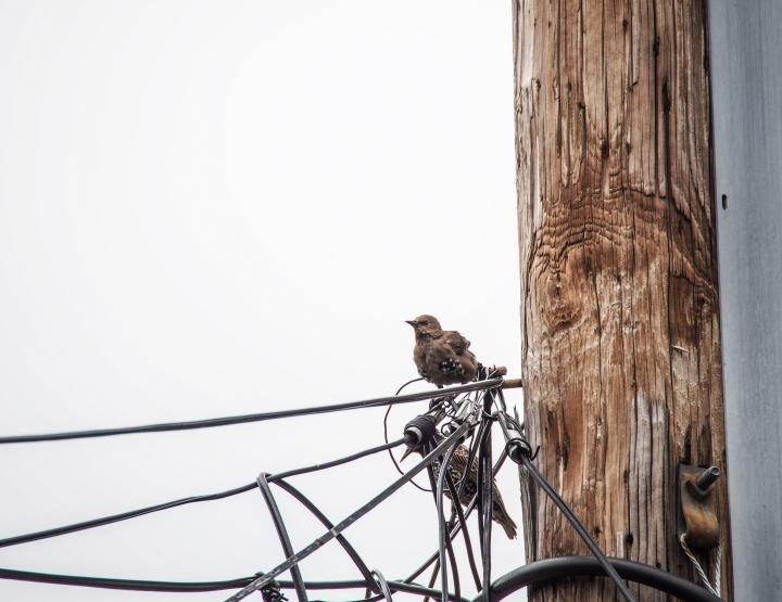 Juvenile European starling