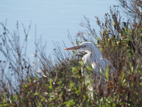 A great egret looks out over the water at Don Edwards San Francisco Bay National Wildlife Refuge, near Fremont, California.