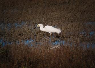 A snowy egret stalks its prey in the salt grass.