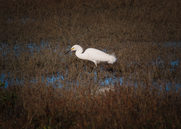 A snowy egret stalks its prey in the salt grass.