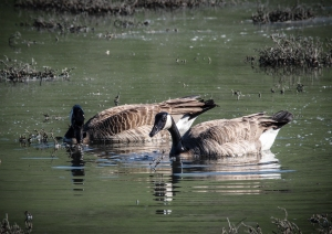 A pair of Canada geese graze in the salt marsh.