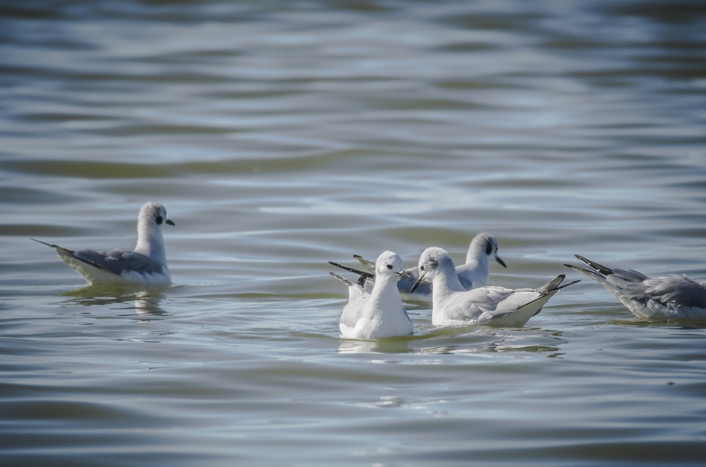 Bonaparte's gulls congregating  in the calm water at the edge of the bay.
