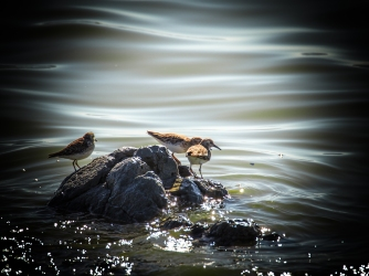 Sandpipers watching the tiny waves of the bay.
