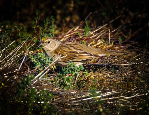 A golden-crowned sparrow foraging at the edge of the trail.