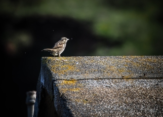 A sparrow pauses for a gnat snack.