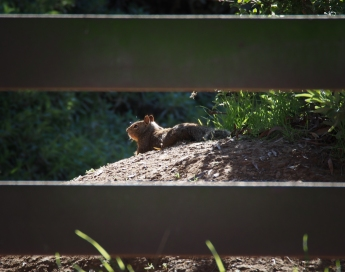 A ground squirrel by the picnic area.