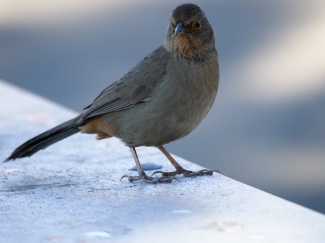 A California towhee was curious about my lunch.
