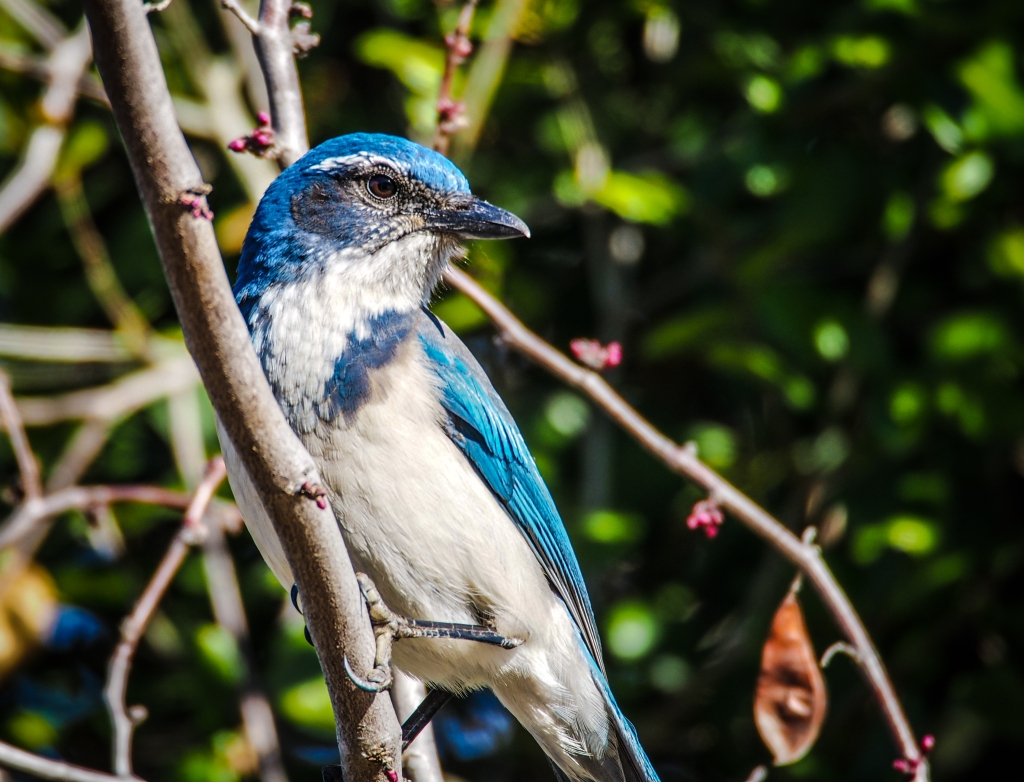A western scrub jay shows off in the parking lot, just as I'm about to leave.
