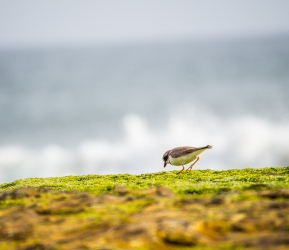 A semipalmated plover hunts the seaweed savanna.