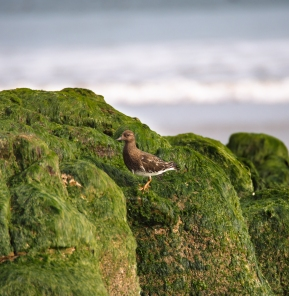 Another black turnstone poses against seaweed-strewn rock.
