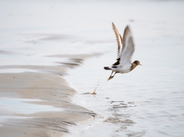 A black turnstone takes flight