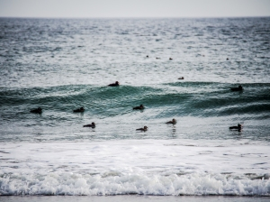 Surf scoters surfing Drakes Bay at Point Reyes.