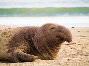 Elephant seal relaxing at Point Reyes National Seashore
