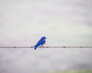 Western bluebird perched on barbed wire at Point Reyes