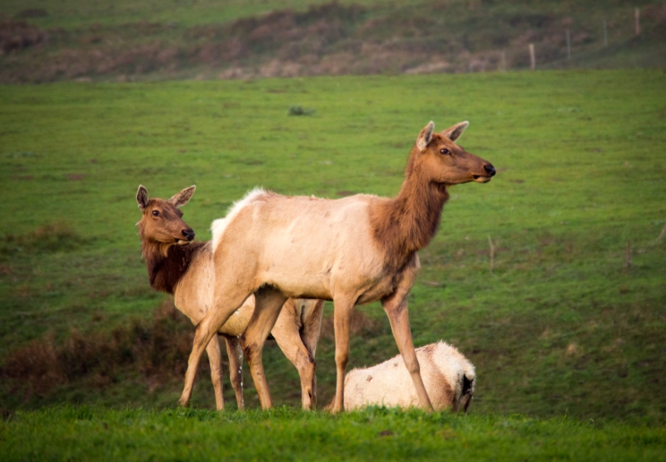 Tule elk at Pt. Reyes