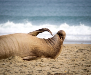 Another elephant seal scratches an itch on the beach at Point Reyes National Seashore.