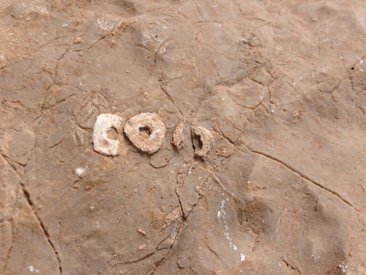 The tiny sliced-pineapple segments of 300-million-year-old crinoid stems litter the Round Valley limestone and chert at the top of Harper's Corner in Dinosaur National Monument.