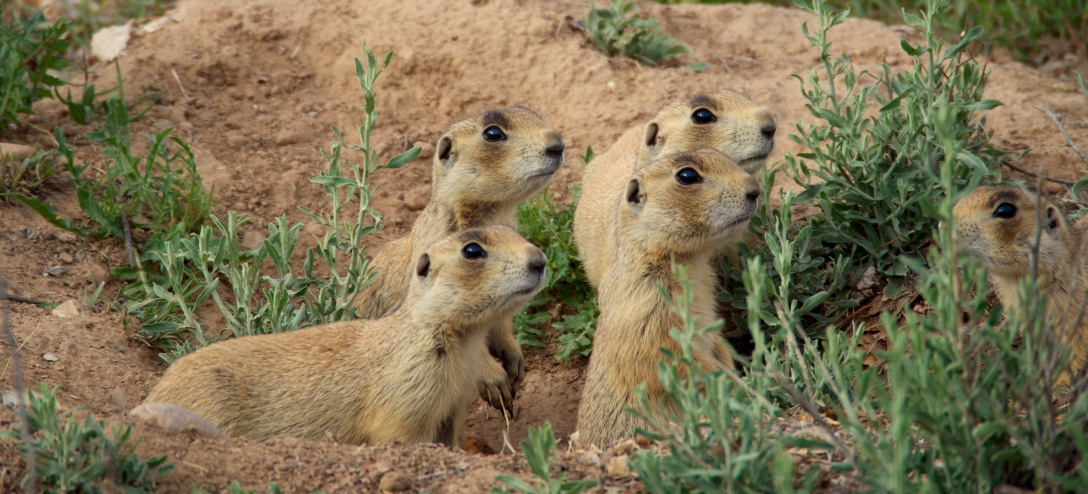 A family of prairie dogs