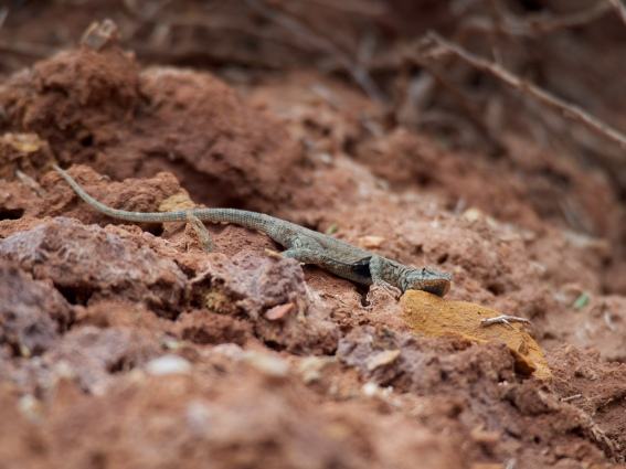 One of Dinosaur's lovely reptiles, found on the Sound of Silence trail. Or maybe it was the Desert Voices trail