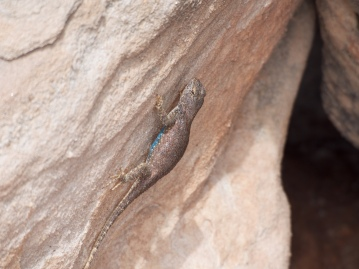 I have yet to ID this lizard I found on the Sound of Silence trail