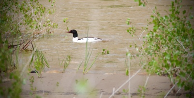Male common merganser paddles against the current of the Green river