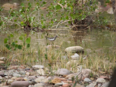 Spotted: a spotted sandpiper on the shore of the Green River at Split Mountain
