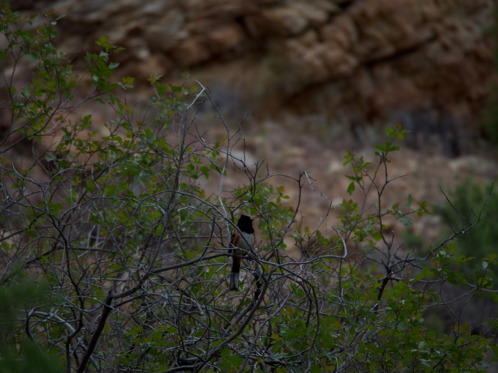 Spotted towhees serenade hikers at the Green River end of the Desert Voices trail