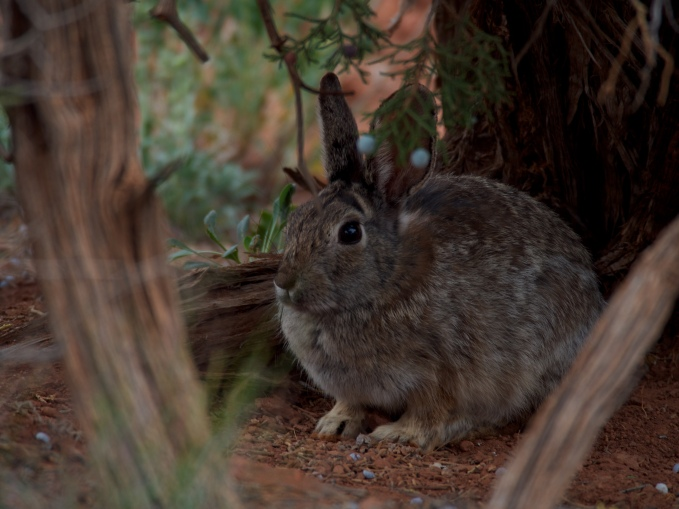 The park is filled with rabbits right now. There may actually be three varieties--I think this is a desert cottontail.