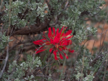 Desert paintbrush stands out among the sagebrush and juniper on the Desert Voices trail.