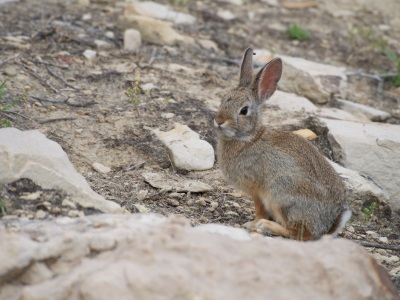 Cottontail rabbit at Dinosaur National Monument