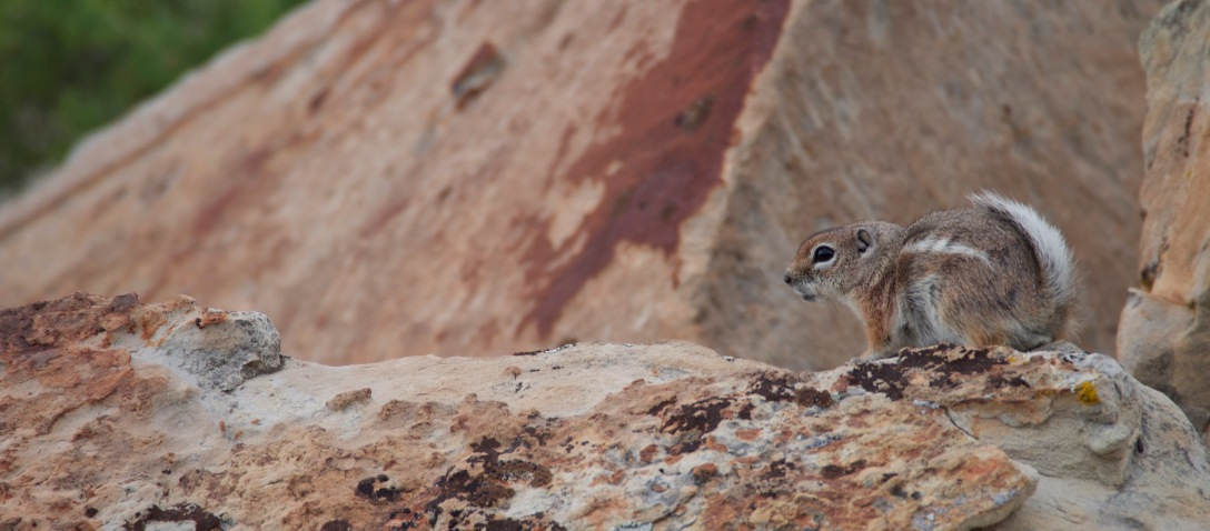 It wasn't all rabbits on the Fossil Discovery Trail. I caught a white-tailed antelope squirrel pausing on a boulder of Frontier Sandstone.