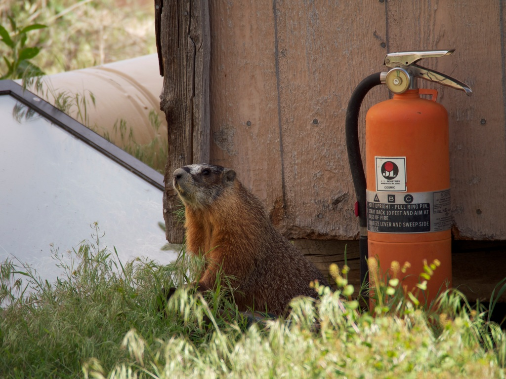 A yellow-bellied marmot posed by a fire extinguisher, presumably for scale. I didn't ask.
