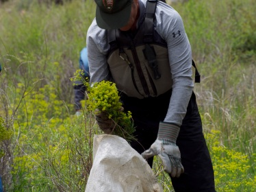 Leafy spurge must be picked with protective hand gloves because it oozes a white latex that irritates the skin, causing blisters in severe cases.
