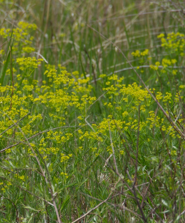 We were always on the lookout for leafy spurge, an invasive and toxic plant that takes over beaches along the rivers of Dinosaur National Monument.