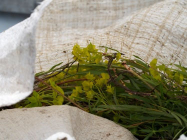 Even with help from independent volunteers, it's not unusual for the Weed Warriors to fill several large bags with leafy spurge on a single trip.