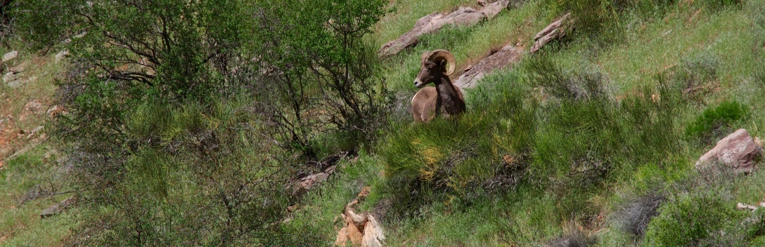 The canyons of Dinosaur National Monument are host to an array of wildlife, like this bighorn sheep.