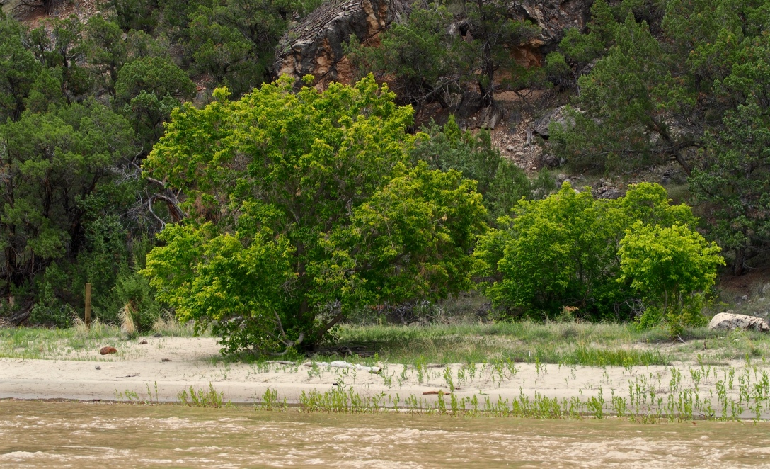 A native box elder thrives on a beach once covered with invasive tamarisk. The Weed Warriors of Dinosaur National Monument, in collaboration with the introduced tamarisk beetle, were able to clear the beach for camping and native wildlife.