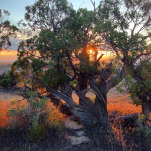 The sun sets behind a juniper tree on Chew Ranch, Utah.