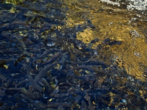 Young battlefish await their chance to win freedom in a fight to the death against anglers and bears at the Jones Hole Fish Hatchery.