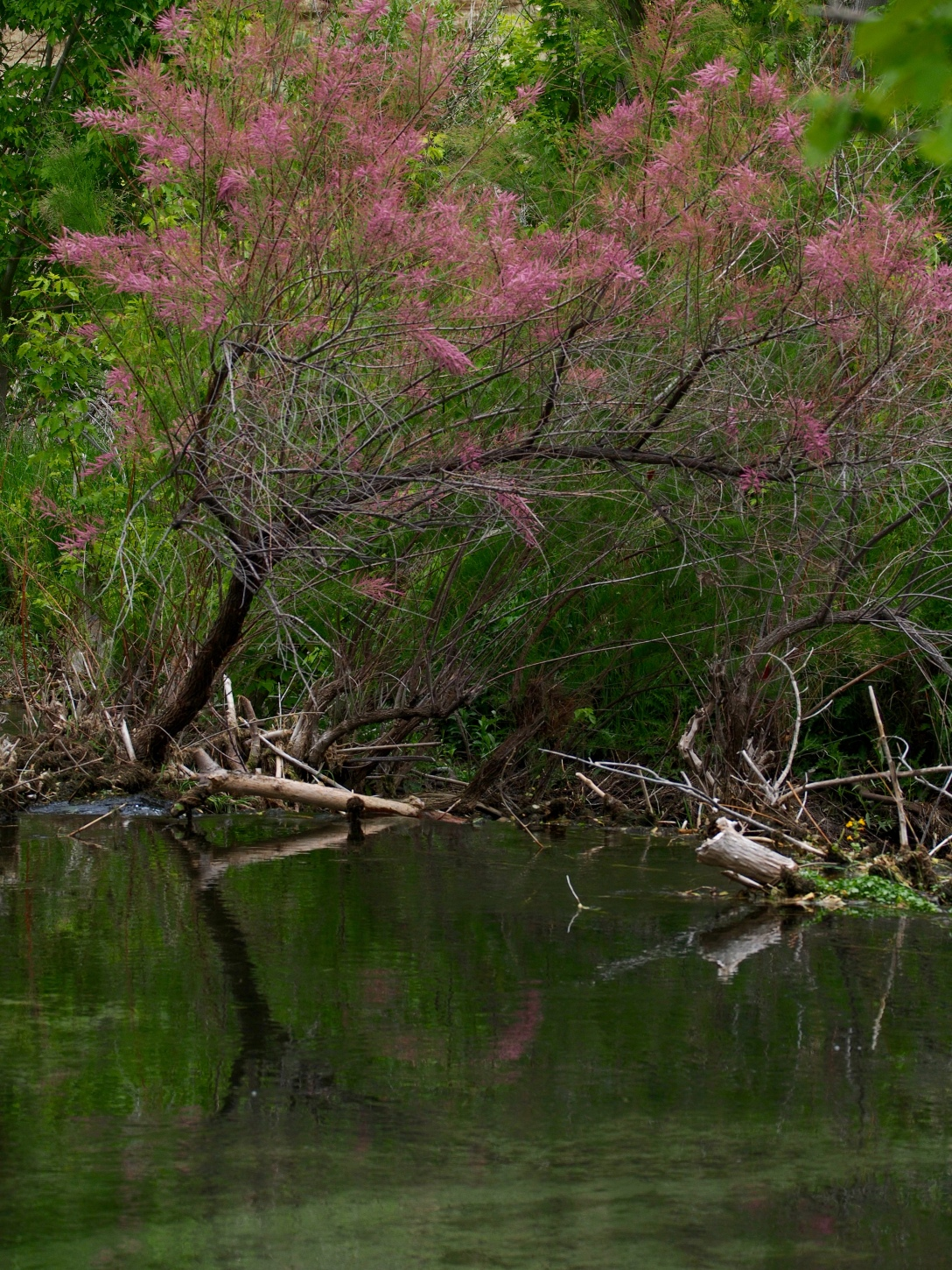 An invasive tamarisk tree blooms over a beaver dam at the end of Jones Hole Creek. Tamarisk, introduced to the Southwest as ornamental, unfortunately destroys spawning habitat for native fish, as well as other ecological impacts.