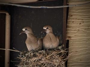 Juvenile doves outside the Resource Management building.